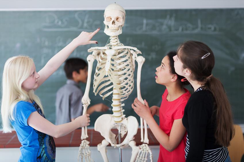Schüler untersuchen Skelett